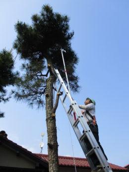 7mの松の 枝落とし
